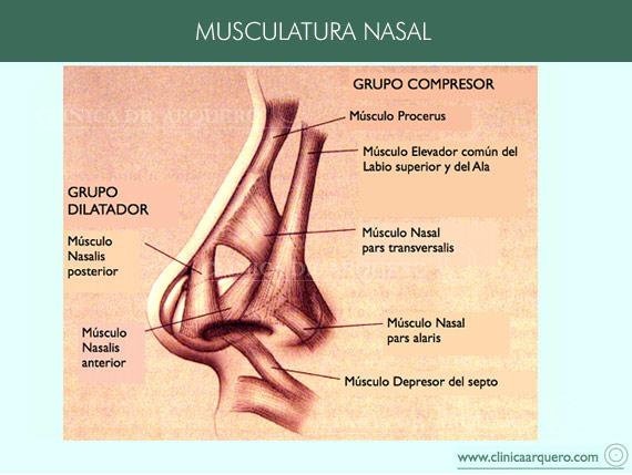 musculos_nasales